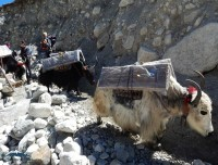 yaks headed to everest base camp